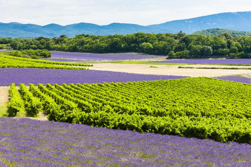 Vineyards-Lavender-Aix-Wine-Tour-3